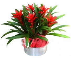 5 adet guzmanya saksı çiçeği  Sivas online çiçekçi , çiçek siparişi