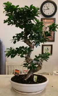 100 cm yüksekliğinde dev bonsai japon ağacı  Sivas yurtiçi ve yurtdışı çiçek siparişi