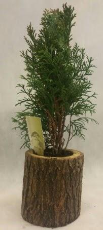 SINIRLI STOK Selvi Bonsai Doğal kütükte  Sivas yurtiçi ve yurtdışı çiçek siparişi