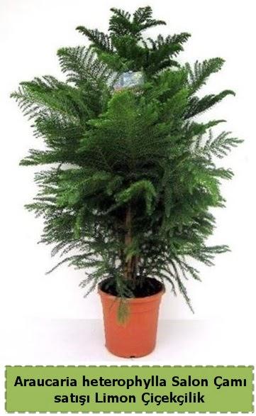 Salon Çamı Satışı Araucaria heterophylla  Sivas çiçek yolla