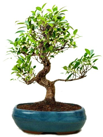 25 cm ile 30 cm aralığında Ficus S bonsai  Sivas online çiçekçi , çiçek siparişi