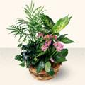 Sivas çiçek yolla  5 adet canli çiçek sepette