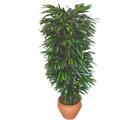 Sivas ucuz çiçek gönder  Özel Mango 1,75 cm yüksekliginde