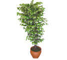Ficus özel Starlight 1,75 cm   Sivas internetten çiçek siparişi