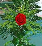 1 adet kirmizi gül buketi   Sivas internetten çiçek satışı