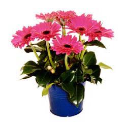vazo içerisinde gerbera çiçekleri   Sivas çiçekçiler