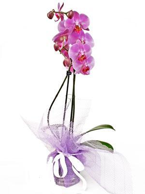 Sivas cicekciler , cicek siparisi  Kaliteli ithal saksida orkide
