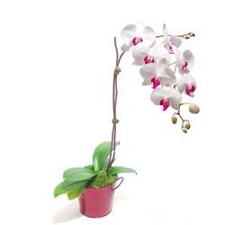 Sivas İnternetten çiçek siparişi  Saksida orkide