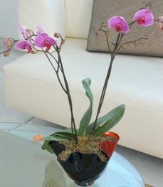 Sivas çiçek , çiçekçi , çiçekçilik  tek dal ikili orkide saksi çiçegi