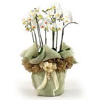 Sivas ucuz çiçek gönder  3 dal orkide , saksi çiçegi , 3 kök orkide