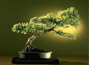 ithal bonsai saksi çiçegi  Sivas çiçek , çiçekçi , çiçekçilik