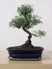 ithal bonsai saksi çiçegi  Sivas internetten çiçek satışı