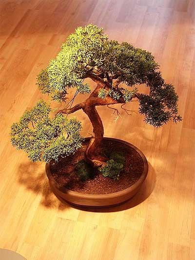 ithal bonsai saksi çiçegi  Sivas hediye sevgilime hediye çiçek