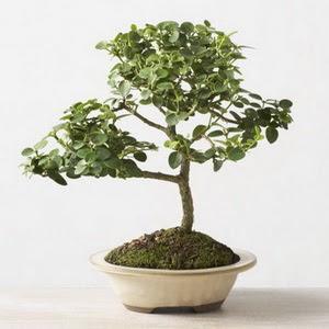 ithal bonsai saksi çiçegi  Sivas 14 şubat sevgililer günü çiçek