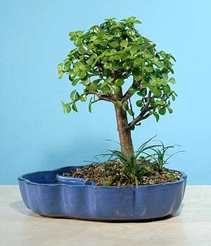 ithal bonsai saksi çiçegi  Sivas çiçekçi mağazası