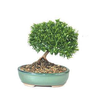 ithal bonsai saksi çiçegi  Sivas çiçek siparişi vermek