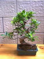 ithal bonsai saksi çiçegi  Sivas uluslararası çiçek gönderme