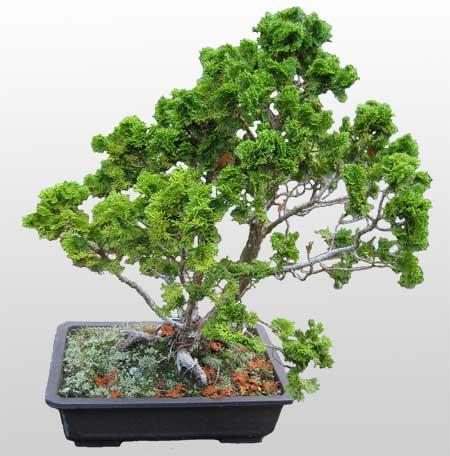 ithal bonsai saksi çiçegi  Sivas yurtiçi ve yurtdışı çiçek siparişi