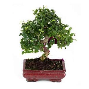 ithal bonsai saksi çiçegi  Sivas cicekciler , cicek siparisi
