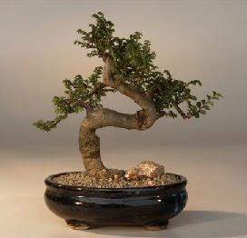 ithal bonsai saksi çiçegi  Sivas cicek , cicekci
