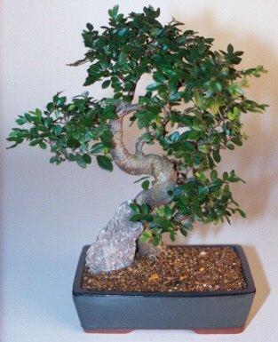Sivas online çiçekçi , çiçek siparişi  ithal bonsai saksi çiçegi  Sivas ucuz çiçek gönder