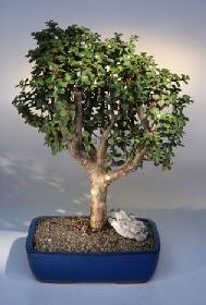 Sivas İnternetten çiçek siparişi  ithal bonsai saksi çiçegi  Sivas çiçekçi mağazası