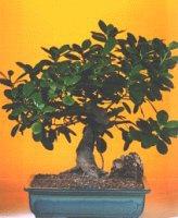 Sivas çiçek gönderme sitemiz güvenlidir  ithal bonsai saksi çiçegi  Sivas çiçek siparişi sitesi