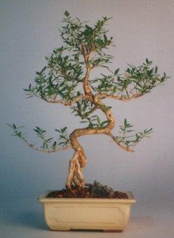 Sivas çiçek yolla  ithal bonsai saksi çiçegi  Sivas internetten çiçek satışı