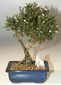 Sivas çiçek gönderme  ithal bonsai saksi çiçegi  Sivas çiçekçiler
