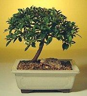 Sivas çiçekçi telefonları  ithal bonsai saksi çiçegi  Sivas internetten çiçek siparişi