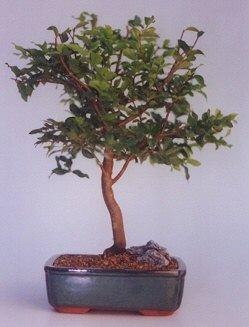 Sivas çiçekçi telefonları  ithal bonsai saksi çiçegi  Sivas cicekciler , cicek siparisi