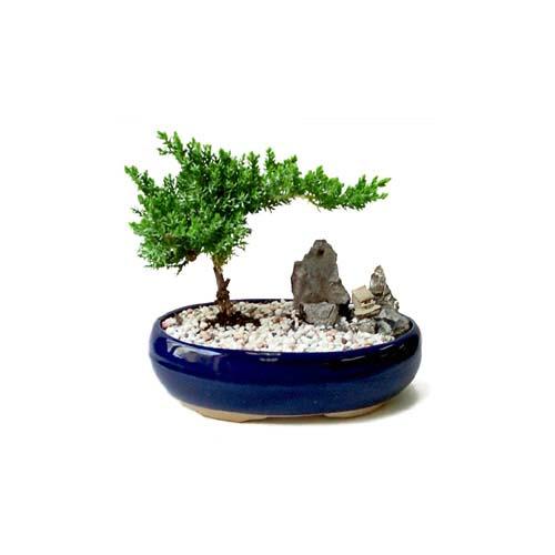 ithal bonsai saksi çiçegi  Sivas İnternetten çiçek siparişi