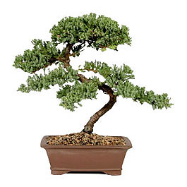 ithal bonsai saksi çiçegi  Sivas online çiçekçi , çiçek siparişi