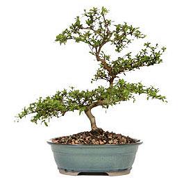 Sivas yurtiçi ve yurtdışı çiçek siparişi  ithal bonsai saksi çiçegi  Sivas online çiçekçi , çiçek siparişi