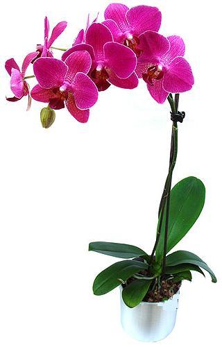 Sivas çiçek , çiçekçi , çiçekçilik  saksi orkide çiçegi