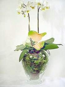 Sivas çiçek yolla  Cam yada mika vazoda özel orkideler