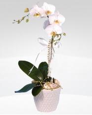 1 dallı orkide saksı çiçeği  Sivas kaliteli taze ve ucuz çiçekler