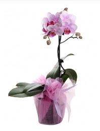 1 dal pembe orkide saksı çiçeği  Sivas çiçek online çiçek siparişi