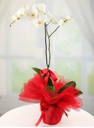 1 dal beyaz orkide saksı çiçeği  Sivas çiçek mağazası , çiçekçi adresleri