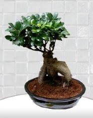 saksı çiçeği japon ağacı bonsai  Sivas çiçek online çiçek siparişi
