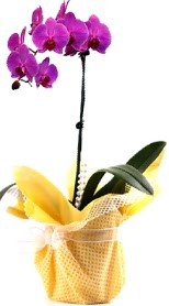 Sivas ucuz çiçek gönder  Tek dal mor orkide saksı çiçeği