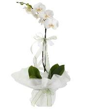 1 dal beyaz orkide çiçeği  Sivas internetten çiçek satışı