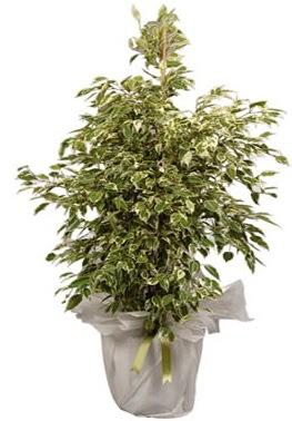 Orta boy alaca benjamin bitkisi  Sivas hediye çiçek yolla