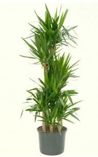 7 li yucca saksı bitkisi  Sivas anneler günü çiçek yolla