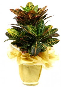 Orta boy kraton saksı çiçeği  Sivas cicek , cicekci