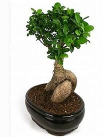 Bonsai saksı bitkisi japon ağacı  Sivas ucuz çiçek gönder