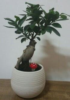 Bonsai japon ağacı saksı çiçeği  Sivas online çiçekçi , çiçek siparişi