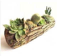 Gerçek uzun kütük içerisinde 7 adet kaktüs  Sivas ucuz çiçek gönder
