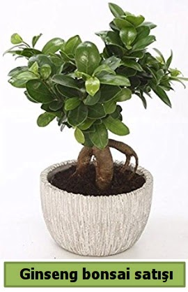 Ginseng bonsai japon ağacı satışı  Sivas çiçek gönderme sitemiz güvenlidir
