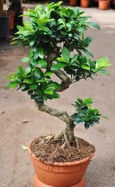 Orta boy bonsai saksı bitkisi  Sivas çiçek siparişi sitesi